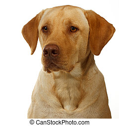 yellow labrador begins to secrete saliva in anticipation of dinner; dudley labrador; brown pink nose; yellow eyes