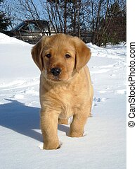 Yellow lab puppy in snow - Yellow labrador retriever puppy ...