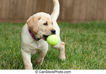 Yellow Lab Puppy Playing with a Tennis Ball - Close up of a...
