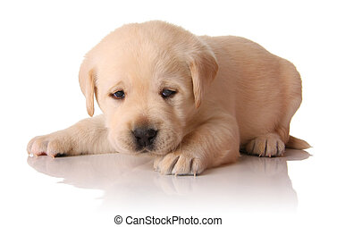 Yellow lab puppy, three weeks old.