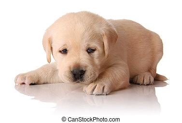 Yellow lab puppy, three weeks old.