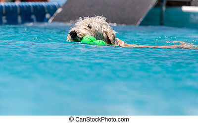 Yellow labradoodle retriever swims with a toy in a pool in...