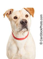 Yellow Labrador Dog Closeup