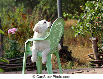 yellow labrador puppy in the garden
