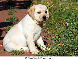 yellow labrador puppy portrait in the garden