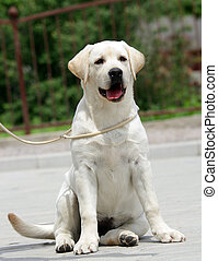 yellow labrador puppy sitting in the park at summer