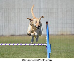 Yellow Labrador Retriever at Dog Agility Trial - Yellow...