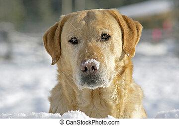 Yellow Labrador Retriever sitting on snow, portrait head...