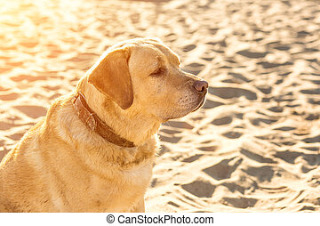 Yellow Labrador Retriever sitting on the beach, green trees is in the background. Sun flare