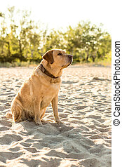 Yellow Labrador Retriever sitting on the beach, green trees is in the background.
