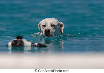 Yellow Labrador retriever swims with a toy in a pool in...