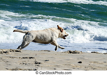 yellow labrador running to the sea