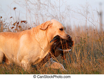 a hunting yellow labrador with a pheasant in autumn