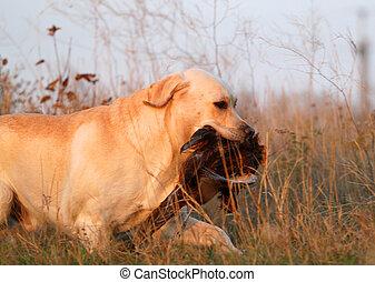 yellow labrador with pheasant