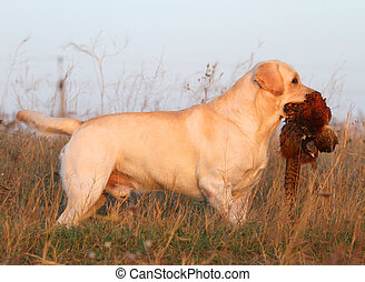 a hunting yellow labrador with a pheasant