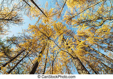 yellow larches in the autumn