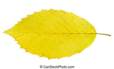 leaf hornbeam - yellow leaf hornbeam isolated on white ...