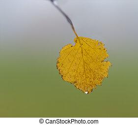 Yellow leaf of birch tree in autumn,