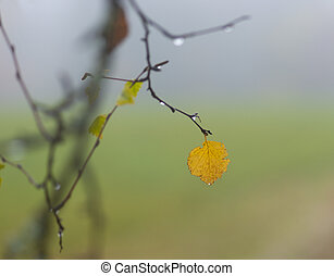 Yellow leaf of birch tree on branch with drops of water,