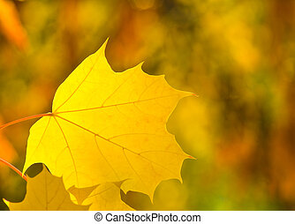 Yellow leaf of maple in autumn park