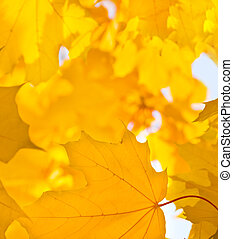 Yellow leaf of maple