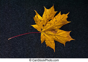 Yellow leaf of maple.