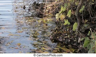 yellow leaf on the water, autumn in beautiful pond. - yellow...