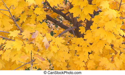 yellow leafs in autumn