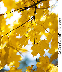 Yellow leaves, autumn background