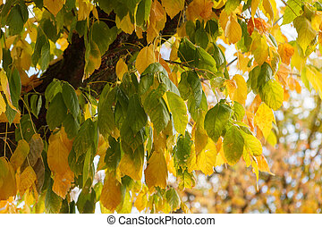 Yellow leaves. Autumn is coming
