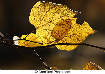 Close up of yellow leaves, autumn