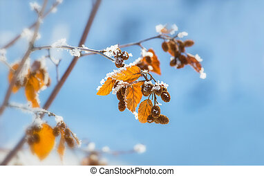 Yellow leaves covered with hoarfrost, against the blue sky