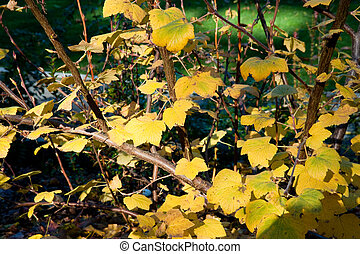 Yellow leaves during winter