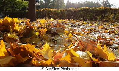 Yellow leaves fall to the ground in the autumn forest. -...