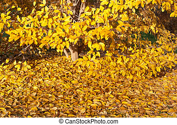 Yellow Leaves Falling Star Magnolia Tree in Autumn - Yellow...