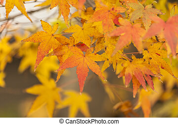 Yellow leaves in autumn in Japan