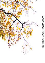 Yellow leaves in autumn season