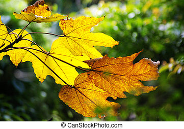 Yellow leaves in autumn