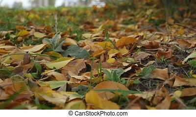 yellow leaves lie on the green grass lawn autumn landscape...
