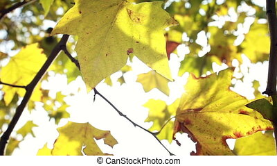 Yellow leaves moving in the wind on a sunny day