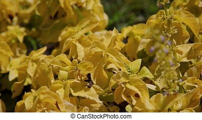 Yellow leaves of an ornamental plant. - Yellow leaves of an...