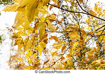 yellow leaves of ash-tree close up in autumn