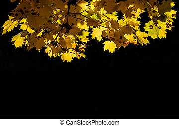 Yellow leaves of autumn maple on a black background