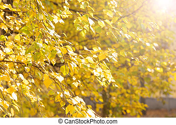 Yellow leaves of birch in autumn day