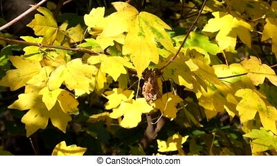 Yellow leaves of field maple rustle in the wind and the last...