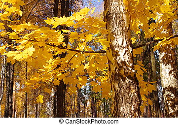 Yellow leaves of maple and birch in autumn