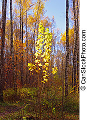 Yellow leaves of maple in autumn