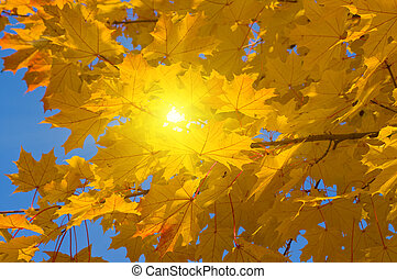 Yellow leaves of maple in autumn sunny day