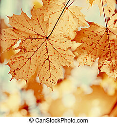 Yellow leaves of maple in autumn.