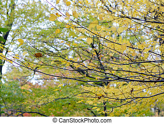Yellow leaves of maple
